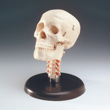 Budget Skull with Cervical Vertebrae on Stand