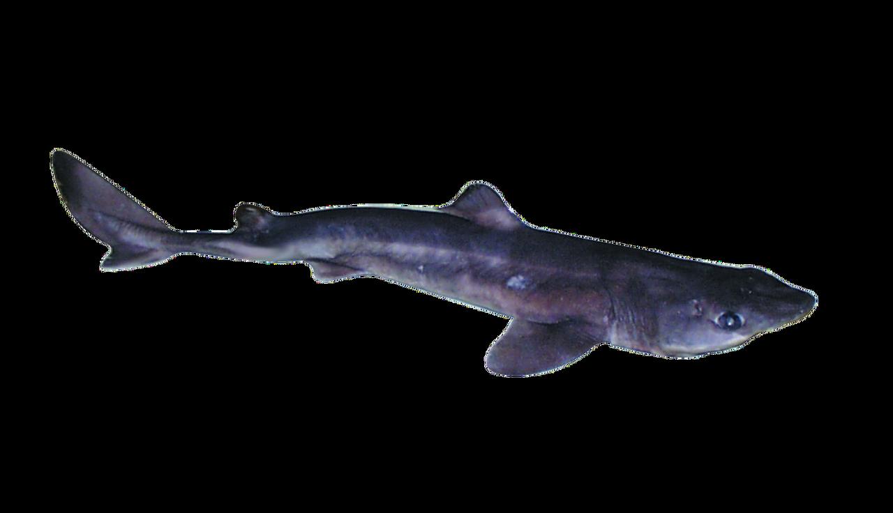 SHARK PLAIN