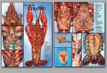 Concise Dissection Chart - Crayfish
