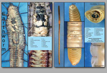 Concise Dissection Chart - Earthworm