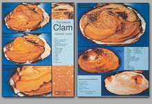 Concise Dissection Chart - Clam