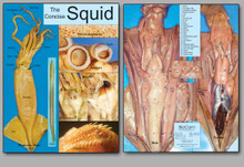 Concise Dissection Chart - Squid