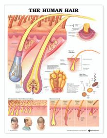 Reference Chart - Human Hair