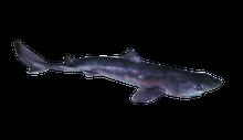 "22"" - 27"" Triple Dogfish Shark"