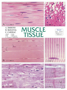 Wall Chart - Muscle Tissue