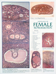 Wall Chart - Female Reproductive