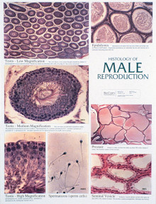 Wall Chart - Male Reproductive