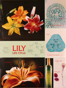 Wall Chart - Lily Life Cycle