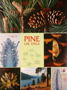 Wall Chart - Pine Life Cycle