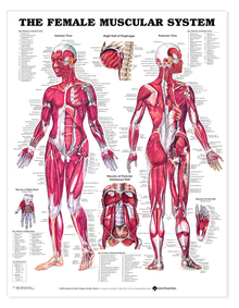 Reference Chart - Female Muscular System