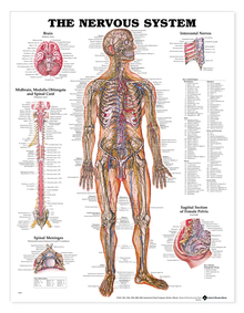 Reference Chart - Nervous System