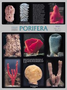 Wall Chart - Porifera