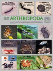 Wall Chart - Arthropoda