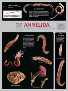 Wall Chart - Annelida