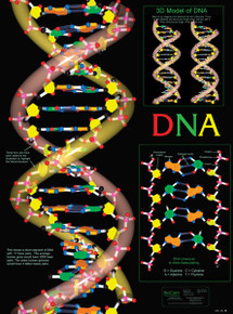 Wall Chart - DNA