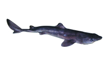 Pregnant Triple Dogfish Shark