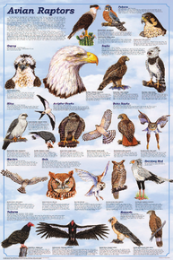 Display Chart - Avian Raptors