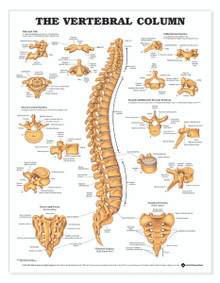 Reference Chart - The Vertebral Column