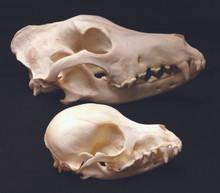 Dog Skull (small)