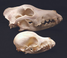 Dog Skull (large)