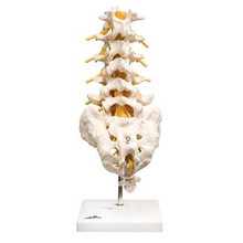 Flexible Lumbar Vertebral Column