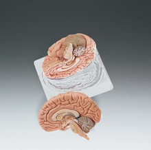 Two-Part Brain Model