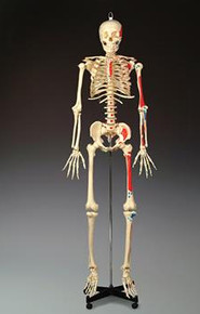 Painted Budget Bucky Skeleton
