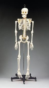 Budget Bart Four-Foot Skeleton