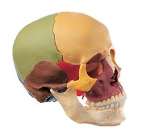 Disarticulated Colored Skull