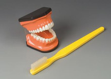 Flossing and Brushing Teaching Model