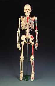 Painted Mr. Thrifty Skeleton