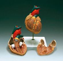 Basic Heart Model