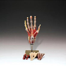 Muscles of the Hand Model