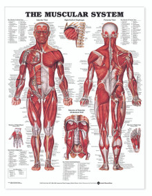 Muscular System - Large Decal Chart