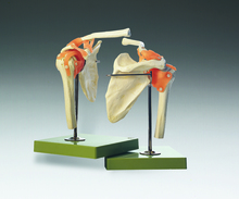 Functional Model of the Shoulder Joint
