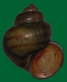 Snail (Viviparus contectus)