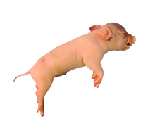 "13"" - 14"" Single Fetal Pig Pail"