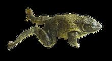 """6"""" - 7"""" Double Bullfrog"""