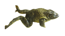 "6"" - 7"" Triple Bullfrog"
