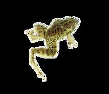 """3"""" - 3.5"""" Single Leopard Frog"""