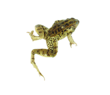 """4.5"""" - 5"""" Triple Leopard Frog Pail"""