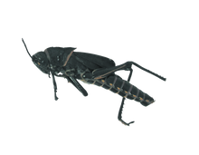 Plain Grasshoppers - Unit of 10
