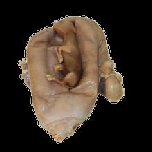 Cow Uterus - Pregnant