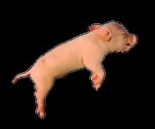 """9"""" - 11"""" Plain Fetal Pig, Pail"""