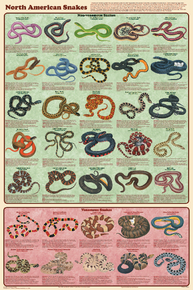 Display Chart - North American Snakes