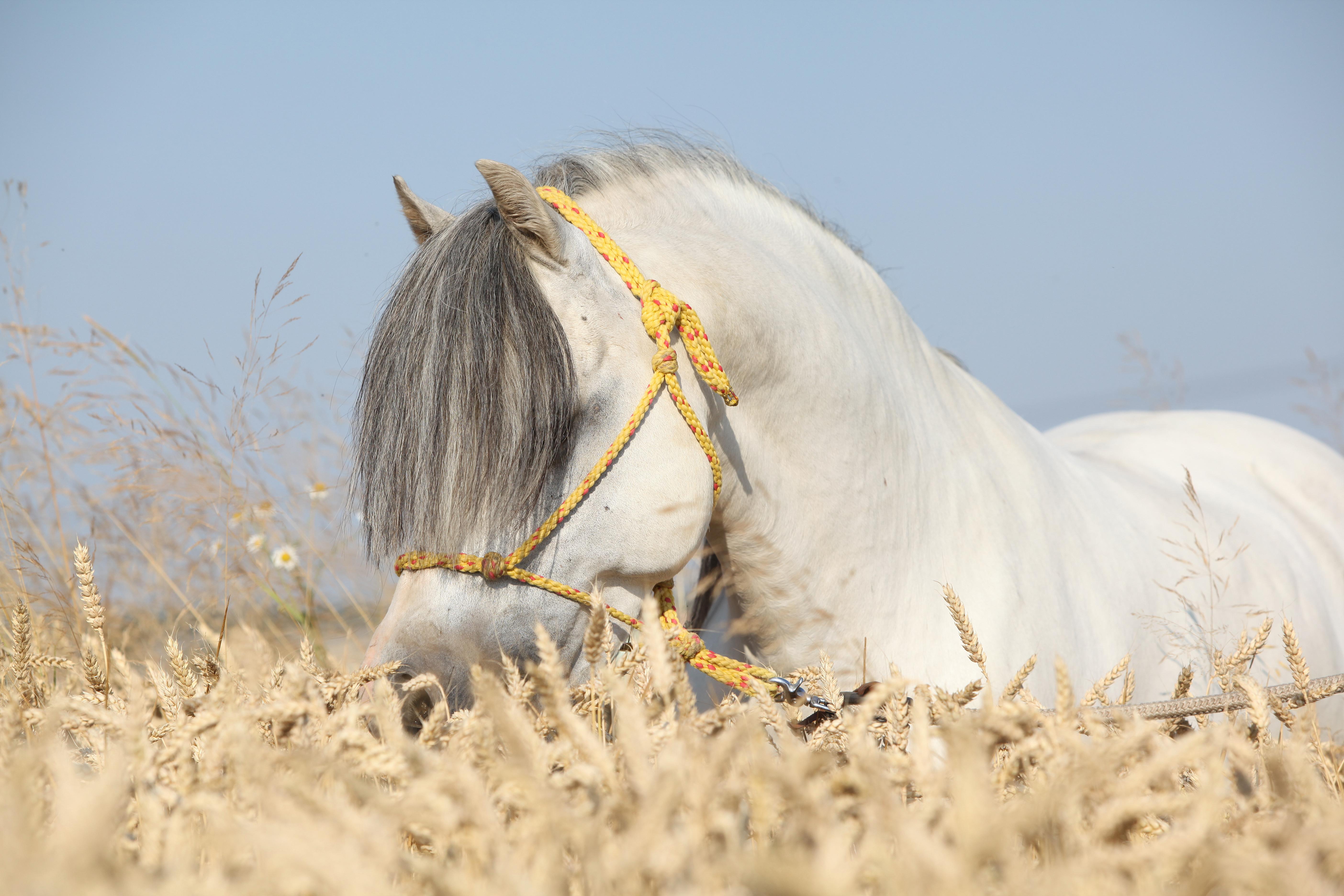Welsh mountain pony in corn field