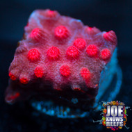 Pink Branching Cyphastrea - STOCK FRAG