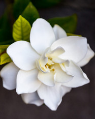 Gardenia Anointing Oil