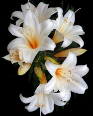 Lily of Aegina Incense - 1/2 lb