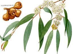 Eucalyptus Leaf, Cut 1 oz